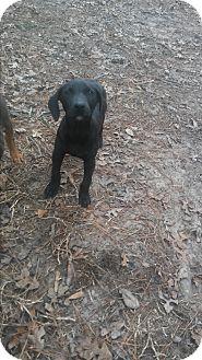 Doberman Pinscher/Boxer Mix Puppy for adoption in Spring, Texas - Luna