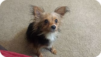 Yorkie, Yorkshire Terrier Mix Dog for adoption in Sacramento, California - Angel S.
