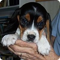 Adopt A Pet :: Dizzy - Westfield, NY