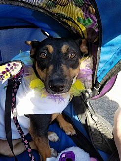 Shepherd (Unknown Type)/Terrier (Unknown Type, Medium) Mix Dog for adoption in Abbeville, Louisiana - Samantha