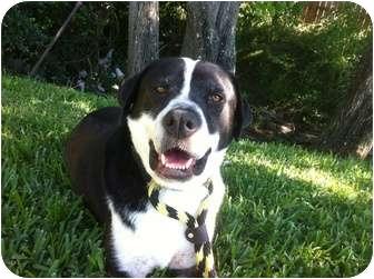 American Bulldog/Labrador Retriever Mix Dog for adoption in Houston, Texas - HANK