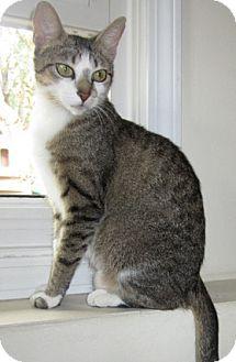 Snowshoe Cat for adoption in Mt. Prospect, Illinois - Specs