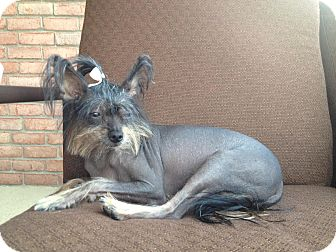 Chinese Crested Dog for adoption in Bedminster, New Jersey - Izzy Bare