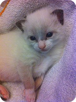Domestic Shorthair Kitten for adoption in Xenia, Ohio - Freddie