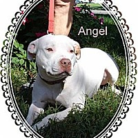 American Staffordshire Terrier Dog for adoption in Norfolk, Virginia - Angel