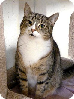 Domestic Shorthair Cat for adoption in Westville, Indiana - Daphne