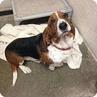 Adopt A Pet :: Winston - Westminster, MD