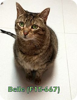 American Shorthair Cat for adoption in Tiffin, Ohio - Belle