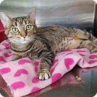 Domestic Shorthair Cat for adoption in Elyria, Ohio - Torbie
