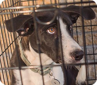 "Border Collie Mix Puppy for adoption in Richfield, Wisconsin - Oreo ""Love me Forever"""