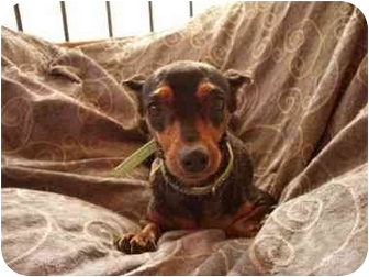 Miniature Pinscher Dog for adoption in Phoenix, Arizona - Gucci