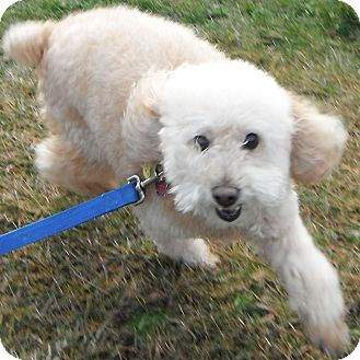 Poodle (Miniature) Dog for adoption in Jackson, Michigan - Cody