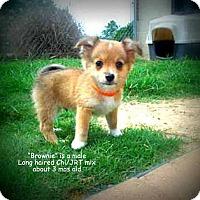 Adopt A Pet :: Brownie - Gadsden, AL