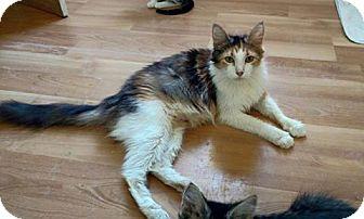 Domestic Mediumhair Cat for adoption in Plantsville, Connecticut - Katya