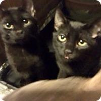 Adopt A Pet :: Stevey - Colmar, PA