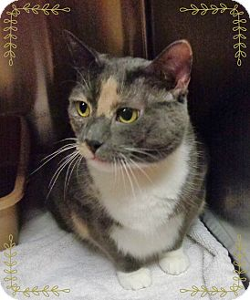 Domestic Shorthair Cat for adoption in Marietta, Georgia - ALAINA