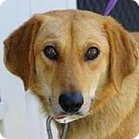 Adopt A Pet :: Greta - Harrisville, RI