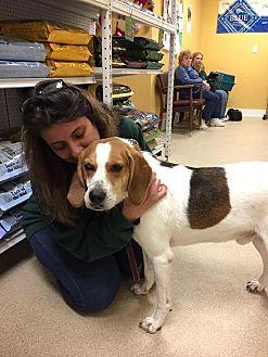 Foxhound Dog for adoption in Greensboro, Maryland - Henry