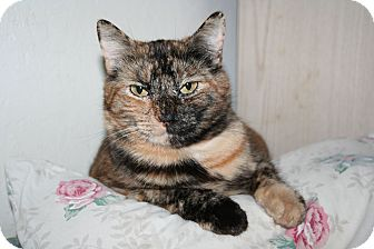 Domestic Shorthair Cat for adoption in Santa Rosa, California - Petunia