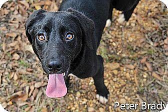Labrador Retriever Mix Dog for adoption in Jackson, Mississippi - Peter Brady