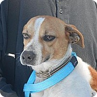 Jack Russell Terrier Dog for adoption in Columbia, Tennessee - Bullet/TN