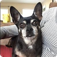 Adopt A Pet :: Winston - Seattle, WA