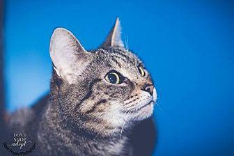 Domestic Shorthair Cat for adoption in Cincinnati, Ohio - zz 'TYGEES' courtesy post