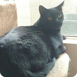 Domestic Shorthair Cat for adoption in Scottsdale, Arizona - Hendrix