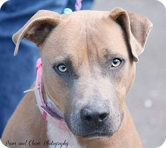 Labrador Retriever/American Pit Bull Terrier Mix Dog for adoption in Covington, Tennessee - Honor