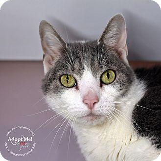 Domestic Shorthair Cat for adoption in Lyons, New York - Malachi
