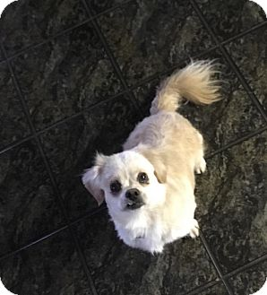 Pekingese Dog for adoption in Lucknow, Ontario - DANNY- social boy!!