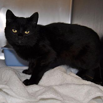 Domestic Shorthair Cat for adoption in Sunrise Beach, Missouri - Boomer