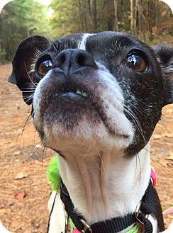 Boston Terrier Mix Dog for adoption in Courtland, Alabama - Mango