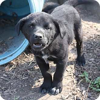 Australian Shepherd Mix Puppy for adoption in kennebunkport, Maine - Dawson - PENDING, in Maine