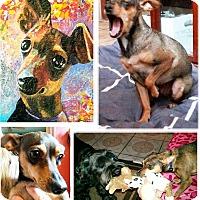 Adopt A Pet :: Itsy Bitsy - Los Angeles, CA