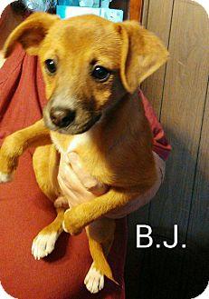Terrier (Unknown Type, Medium) Mix Puppy for adoption in Burlington, Vermont - BJ