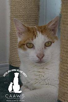 Domestic Shorthair Cat for adoption in Baton Rouge, Louisiana - Taz