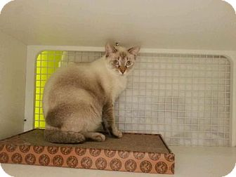 Siamese Cat for adoption in St. Cloud, Florida - Sky