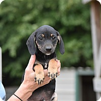 Adopt A Pet :: Dizzy - Groton, MA