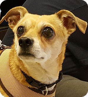 Chihuahua Mix Dog for adoption in Las Vegas, Nevada - Bandit
