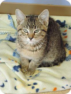 Domestic Shorthair Kitten for adoption in Brookings, South Dakota - Coach