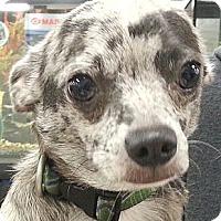 Adopt A Pet :: Thomas - Orlando, FL