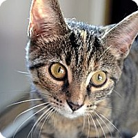 Adopt A Pet :: Ashley - Xenia, OH