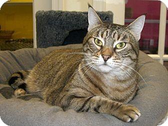 Abyssinian Cat for adoption in Jupiter, Florida - Nala