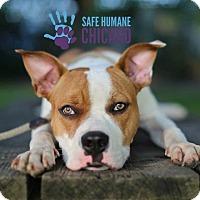 Adopt A Pet :: Bandit - Chicago, IL