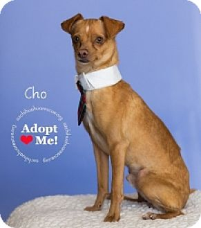 Chihuahua Mix Dog for adoption in Mesa, Arizona - Cho