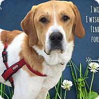Adopt A Pet :: Albert - West Hartford, CT