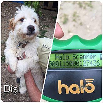 Goldendoodle Mix Dog for adoption in Arlington, Massachusetts - MIA