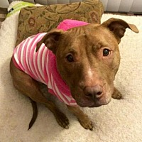 Pit Bull Terrier Dog for adoption in Voorhees, New Jersey - Coco