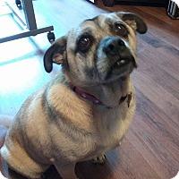 Adopt A Pet :: Amy - Georgetown, KY
